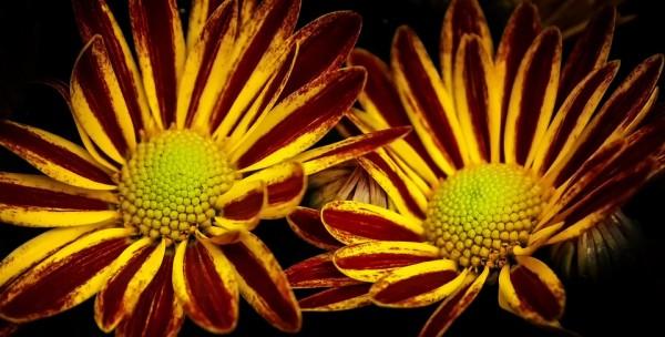 chrysanthemum-1517007_960_720